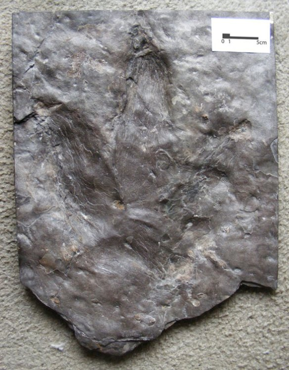 Figure 1. A Triassic dinosaur track from the collection of David Peters on loan at Washington University, St. Louis.
