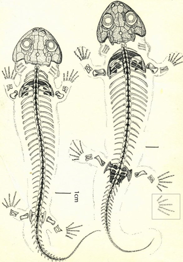 Figure 5. Utegenia diagram showing five fingers on each hand. This is the most primitive taxon in our lineage to have all five.