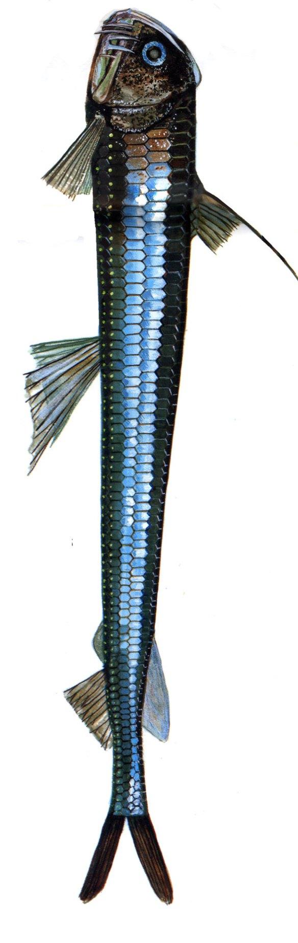 Figure 3. Chauliodus, the viperfish, in vivo.
