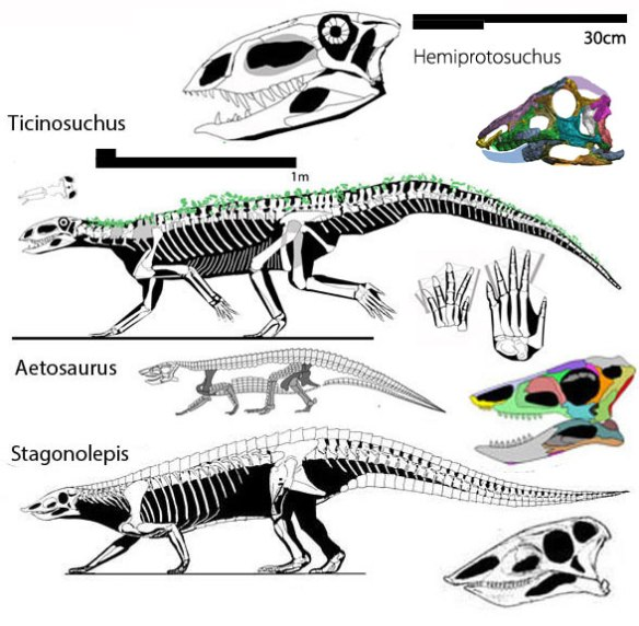 Figure 3. Hemiprotosuhus image from Desojo and Ezccura 2016. Colors added. This taxon is derived from Ticinosuchus, basal to aetosaurs.