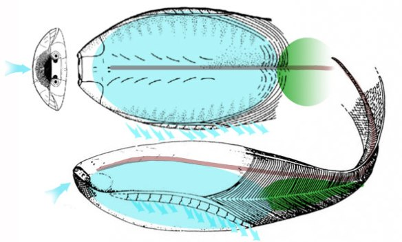 FIgure 3. Arandaspis lived inside its gill chamber shell and armored tail.