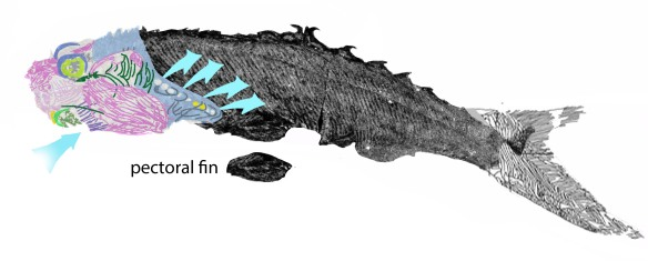 Figure 2. Birkenia is basically an armored Metaspriggina with a tail fin.