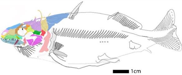FIgure x. Gregorius rexi with articulated bones in vivo.
