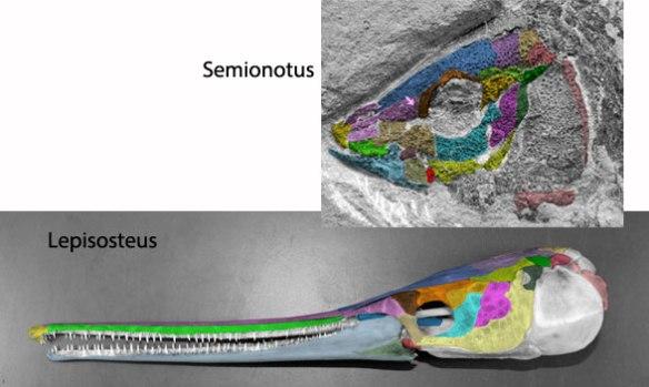Figure 2. Skulls of the extant gar (Lepisosteus) and its Late Triassic ancestor (Semionotus).