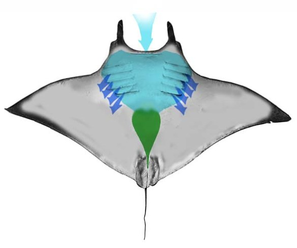 Figure 3. The gill chamber and digestive track of Manta shown in ventral view.