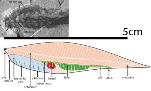 Figure 1. An early jawless, finless, lancelet-like fish from the Cambrian, Metaspriggina. Compare the placement of the eyes here with Birkenia in figures 2 and 3.