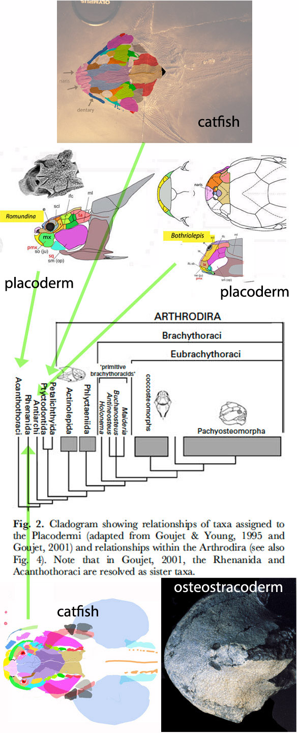 FIgure 2. Traditional placoderm cladogram with LRT notes added
