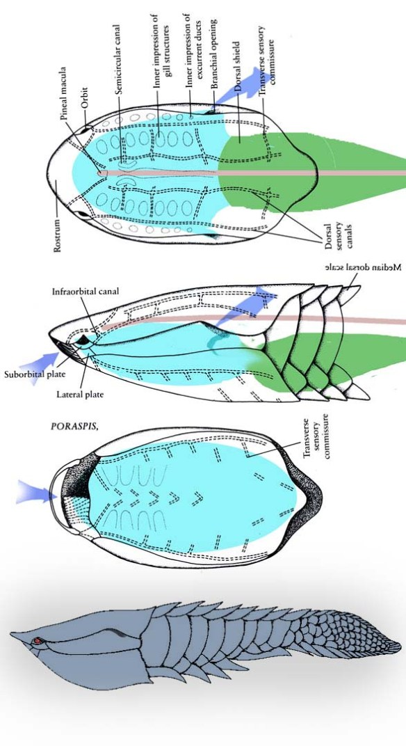 Figure 4. Poraspis fuses the lateral gill plates together for greater armor, leaving only a slender single common opening for the exiting water. This was probably a sedentary taxon due to its inability to respire at a great rate.