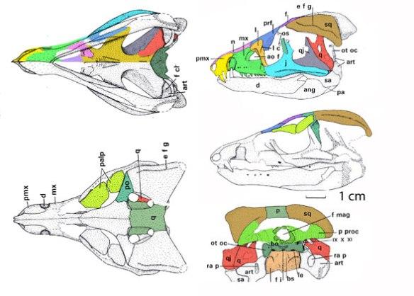 Figure 2. Protosuchus skull. The high cranium and low triangular rostrum evidently made Bonaparte 1969 consider Hemiprotosuchus similar enough to Protosuchus.