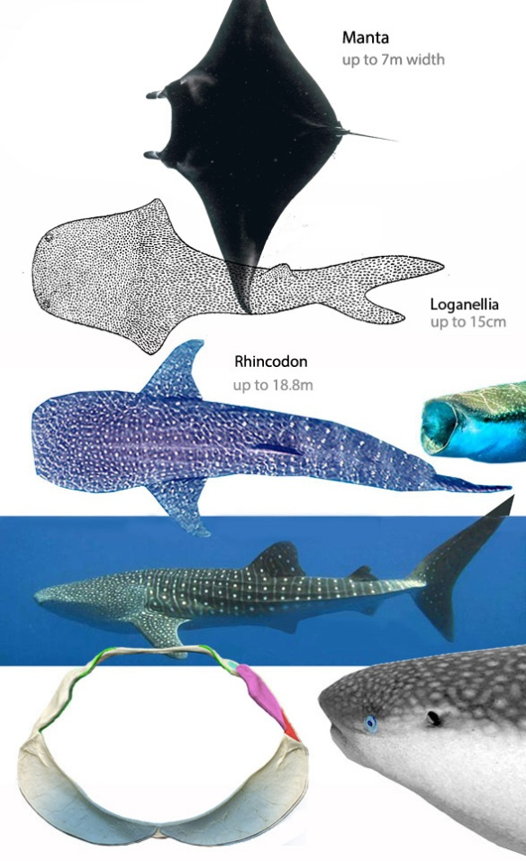 Figure 1. Manta compared to Thelodus (Loganellia) and Rhincodon. All three have a terminal mouth essentially straight across, between the lateral eyes, distinct from most fish.