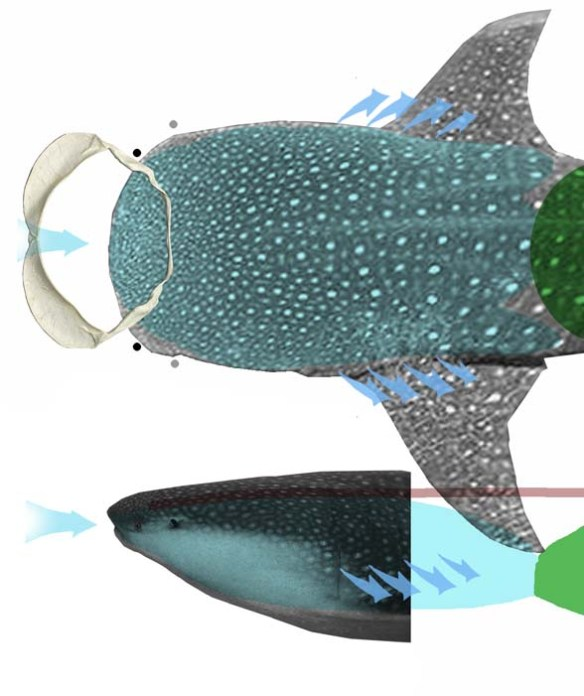 Figure 2. The whale shark, Rhincodon, has an enormous gill chamber for capturing planktonic prey.