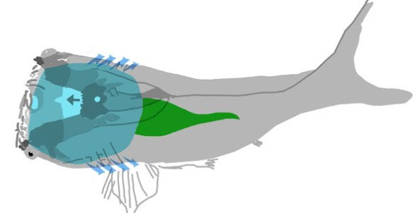 Figure 1. Loganellia, from the Silurian, had a large, wide gill chamber inside a low skull.