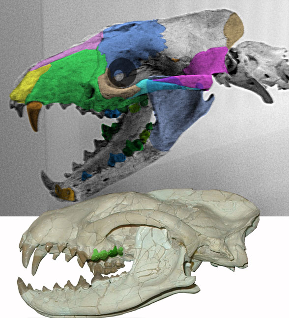 Figure 1. Two skulls attributed to Daphoneus, one with colors added.