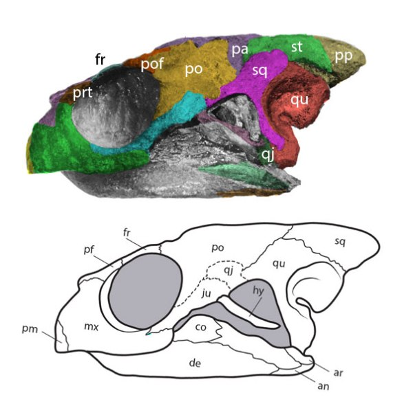 Figure 1. The skull of the Cretaceous sea turtle, Desmatochelys, is relabeled here with the addition of color.