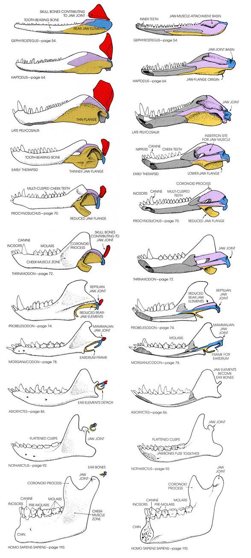Figure 4. Evolution of the tetrapod mandible and ear bones leading to humans.