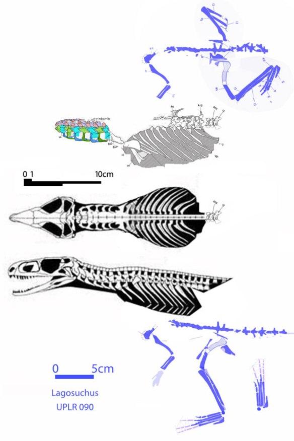 Figure 1. Gracilisuchus and its slab mate, Lagosuchus. Note the very few bones both specimens preserve in common are at the base of the dorsal column.