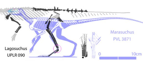 Figure 2. Lagosuchus to scale with Marasuchus. Several proportions are different between the two.