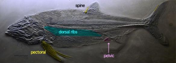 Figure 1. Pachycormus fossil. Pelvic fins vestigial near vestigial anal fin. See figure 2 for closeup of the skull.