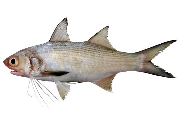 Figure 3. The threadfin, Polydactylus, also splits the pectoral fin to form threadlike feelers.