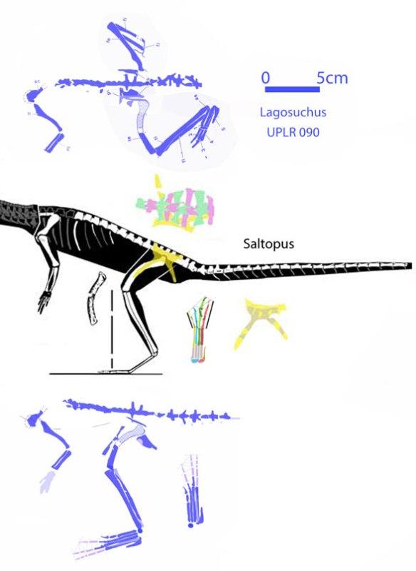 Figure 4. Lagosuchus compared to Saltopus.