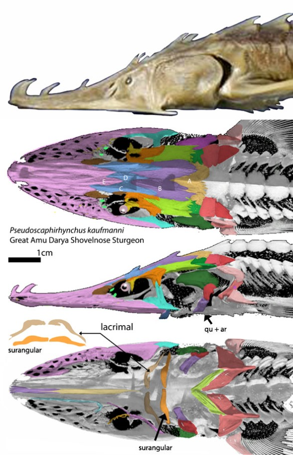 Figure 1. Skull of Pseudoscaphorhynchus. Note the mouth is created by the lacrimal and surangular, not the maxilla and dentary, which are tooth-bearing bones in more derived fish.