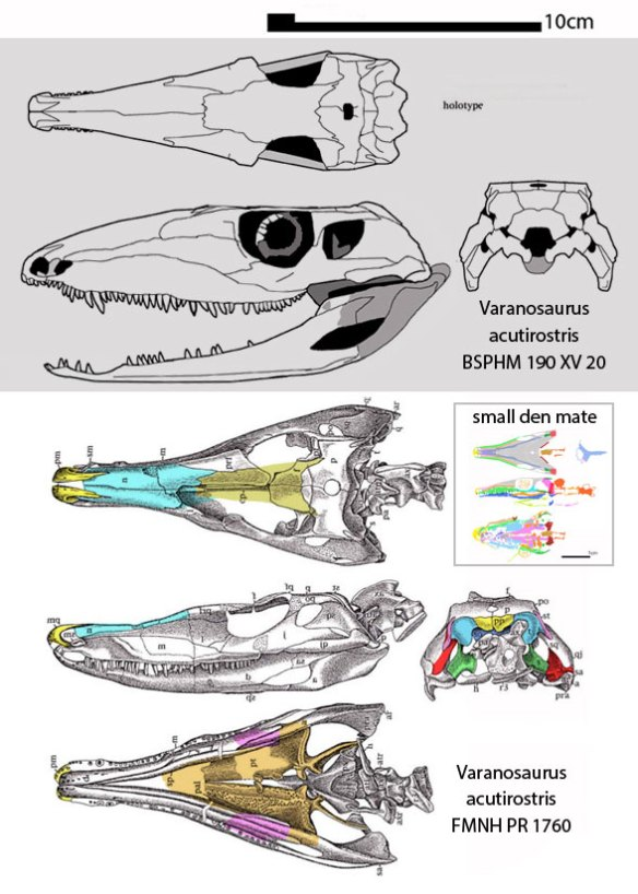 Figure 3. The small den mate nests between these two specimens assigned to Varanosaurus.