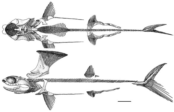 Figure 2. Akmonistan, a relative of Stethacanthus.