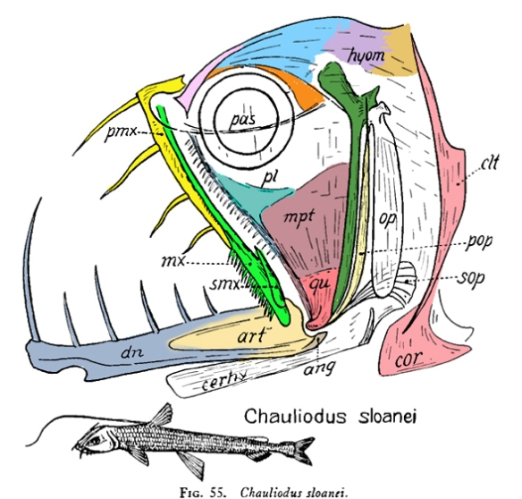 Figure 2. Chauliodus, the viperfish, skull. Compared to the wolf herring in figure 1.