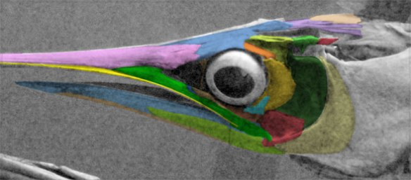 Figure 3. Skull of Istiophorus, the sailfish with DGS colors applied.