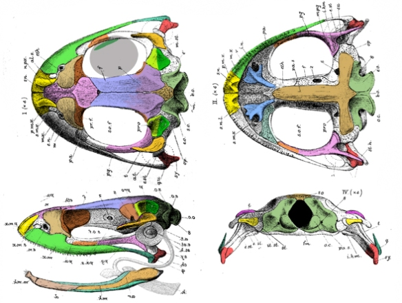 Figure 2. Skull of the frog, Rana with colors matching those of Triadobatrachus.