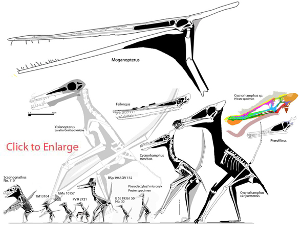 Figure 3. Click to enlarge. Taxa in the lineage of Cycnorhamphidae + Ornithocheiridae in the LPT.