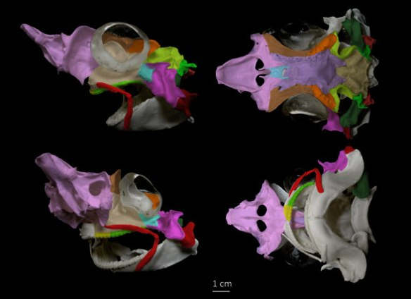Figure 1. Skull of Squalus acanthi as with DGS colors added according to tetrapod skulls.