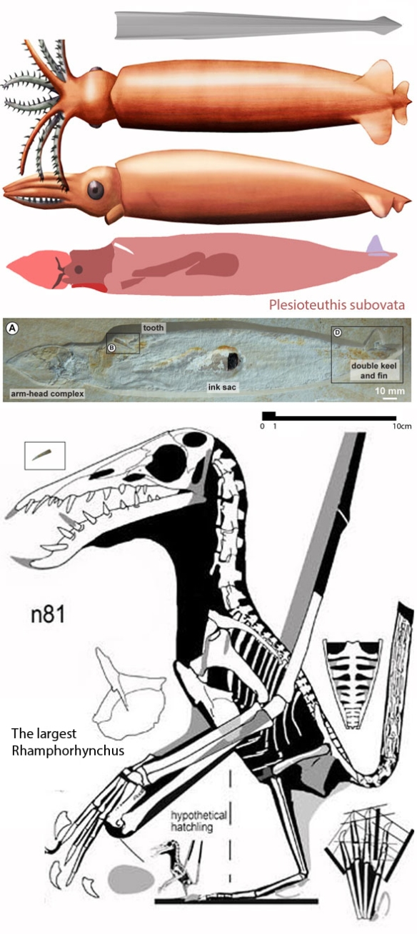 Figure 1. Plesioteuthis squid in situ with tooth. Reconstructions of Plesioteuthis (above) and the n81 specimen attributed to the largest known Rhamphorhynhcus, which has a matching tooth. The question is: could that pterosaur eat that squid? Or did it change its mind after biting the squid?