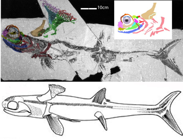Figure 1. Stethacanthus in situ, diagram and reconstruction from DGS methods.