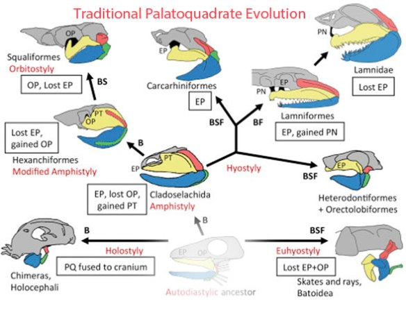 Figure 1. Traditional diagram from Richter and Underwood 2018 demonstrating their views on palatoquadrate evolution.