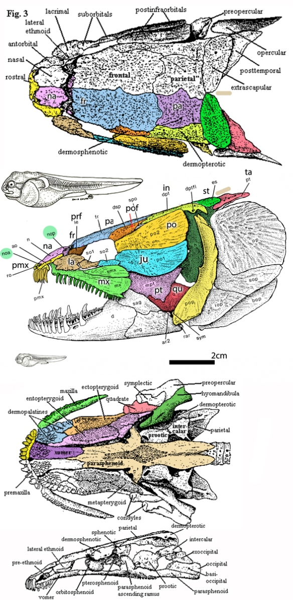 Figure 4. Skull of the extant bowfin (Amia). Compare to figure 3.