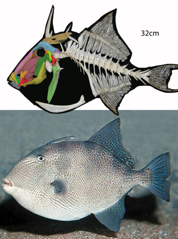 Figure 3. The queen triggerfish, Balistes, is related to Mola in the LRT.