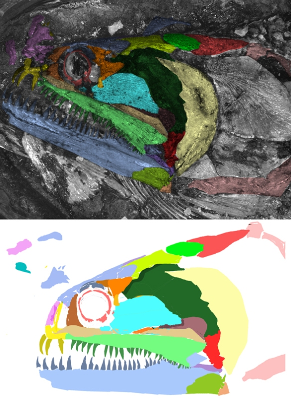 Figure 6. Skull of Calamopleurus updated with new colors.