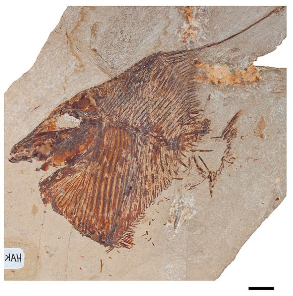 Figure 1. One of four specimens of Flagellipinna from Cawley and xx, 2019.