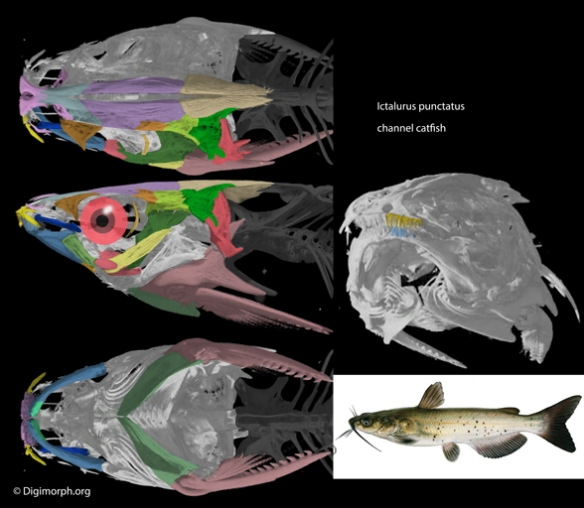 Figure 3. The channel catfish, Ictalurus, skull and lateral view in vivo.