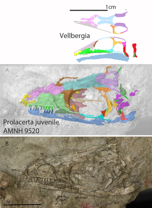 Figure 2. Small Prolacerta specimen AMNH 9520 from Spiekman 2018 compared to scale with Vellbergia.