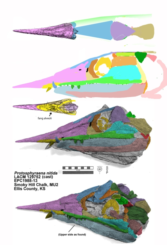 Figure 1. Skull of Protosphyraena. Colors added to march tetrapod homologies and updated here from previous guesstimates. Comapare to figures 3 and 4.