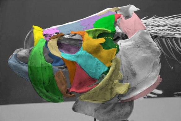 Figure 2. Tarpon (Megalops) skull with tetrapod skull colors added.