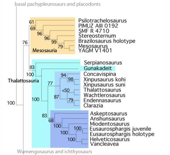 Figure 3. Cladogram of the Mesosauria + Thalattosauria with Gunakadeit now included.