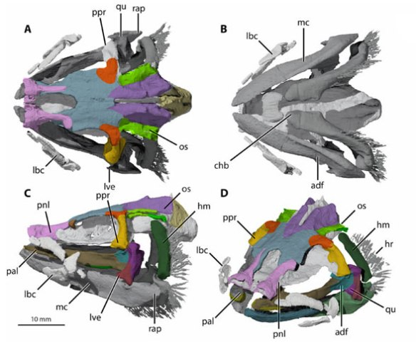 Figure 1. CT scans of Tristychius skull from Coates et al. 2019.