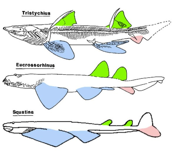 Figure 1. Tristychius, a basal shark from the Early Carboniferous, compared to descendant taxa, two angel sharks.