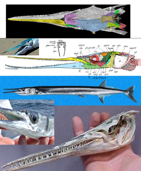 Figure 5. Tylosurus, the needlefish, in several views. This taxon nests with Esox in the LRT.