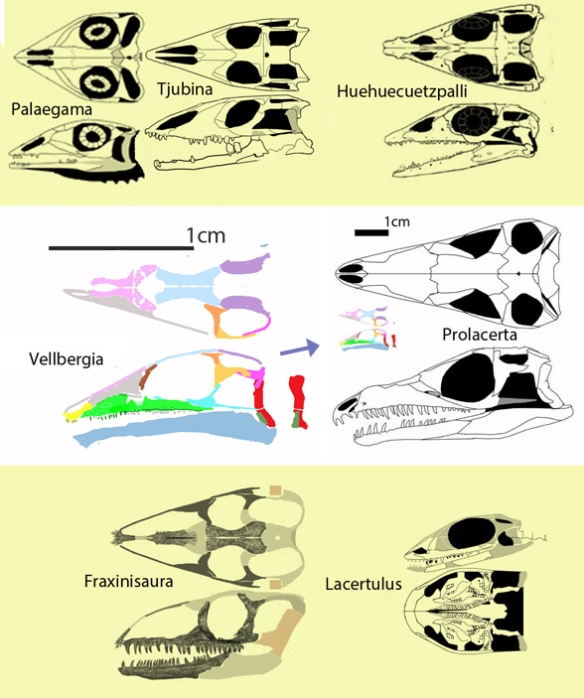 Figure 1. Vellbegia compared to the lepidosaurs it would nest with if Prolacerta and all Archosauromorpha were deleted.