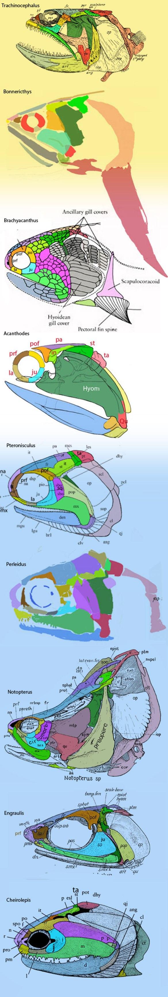 Figure 4. Acanthodian skulls, plus those of ancestors and related taxa.