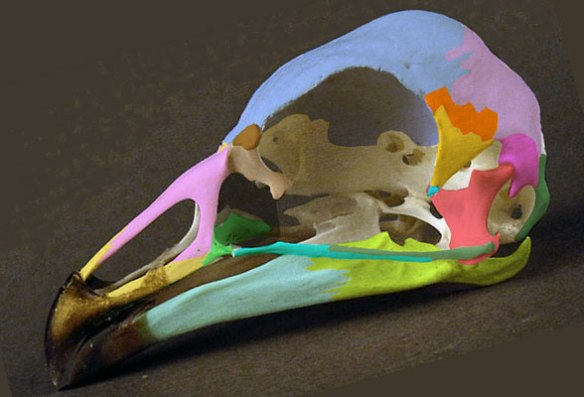 Figure 2. Chauna skull. This sister to Asteriornis in the LRT shares most traits and informs the restoration.